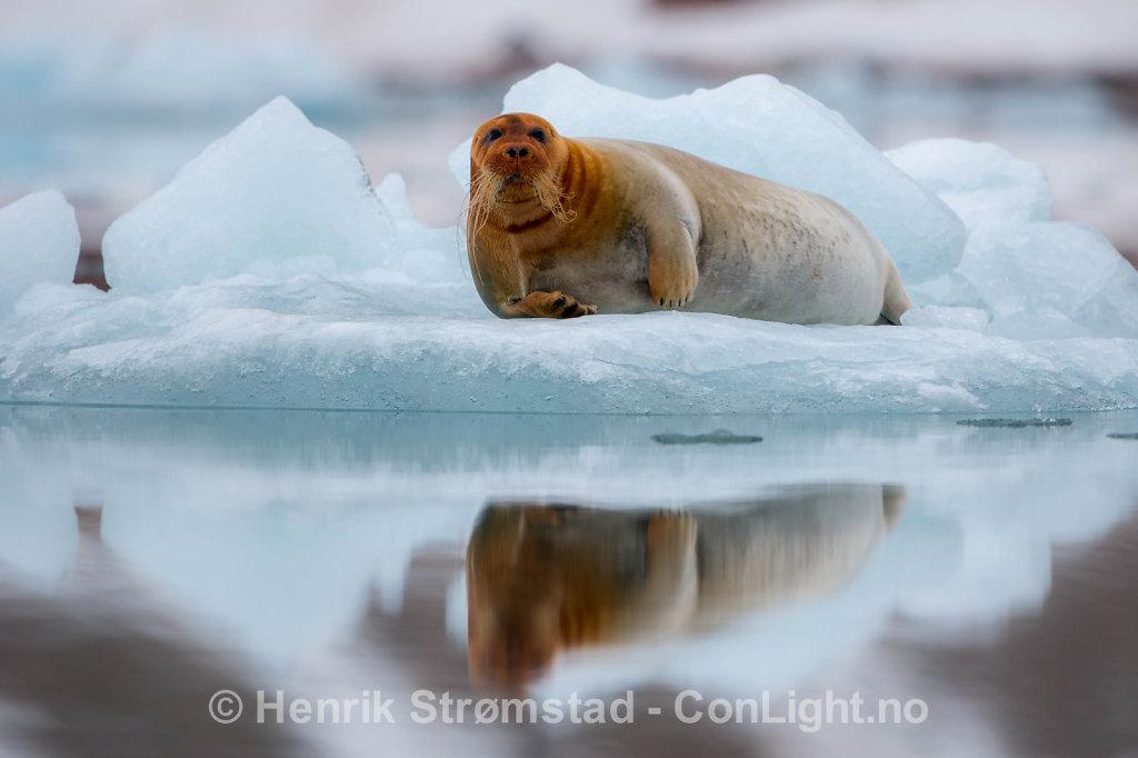 Bearded Seal, Kongsfjorden, Svalbard 001