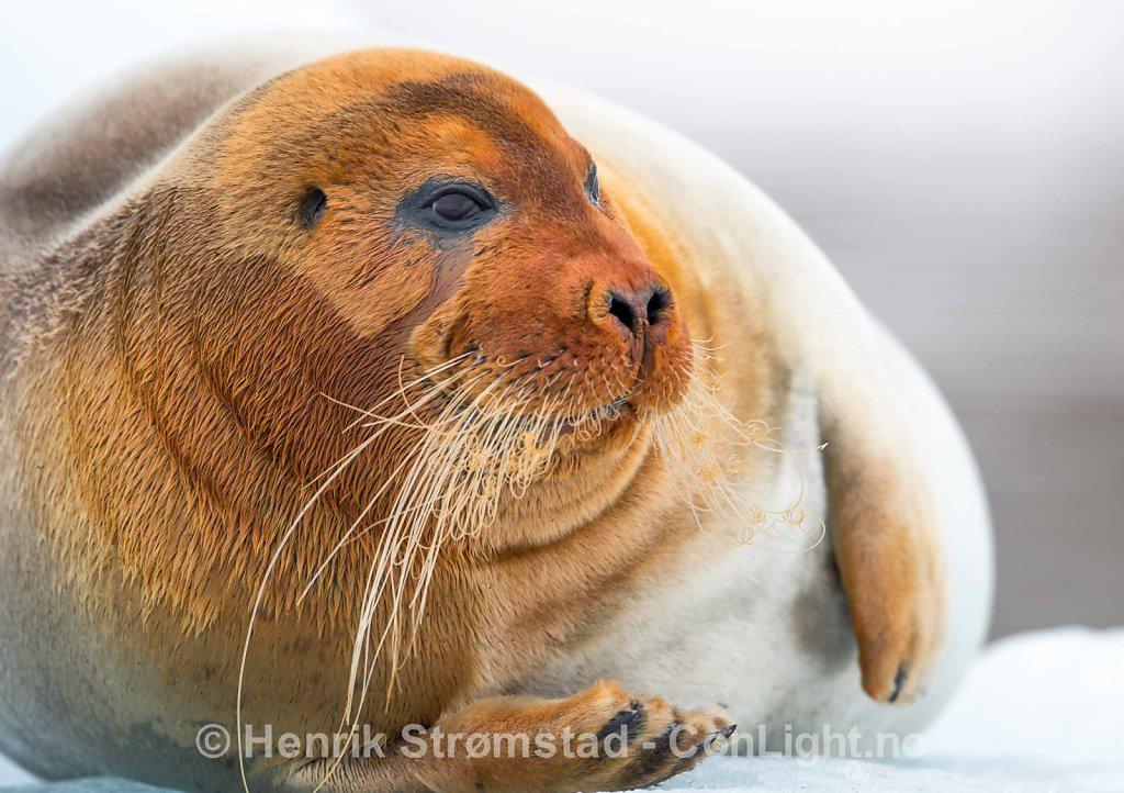 Bearded Seal, Kongsfjorden, Svalbard 002