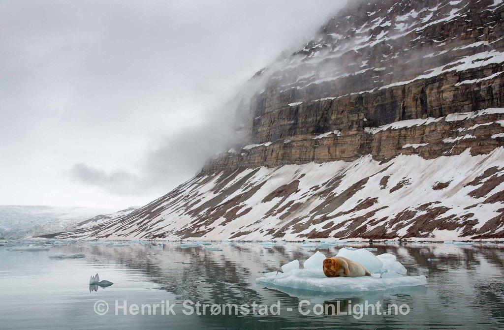 Bearded Seal, Kongsfjorden, Svalbard 005