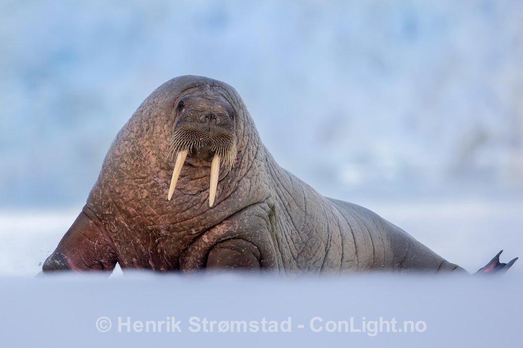 Walrus, Magdalenefjorden, Svalbard 002