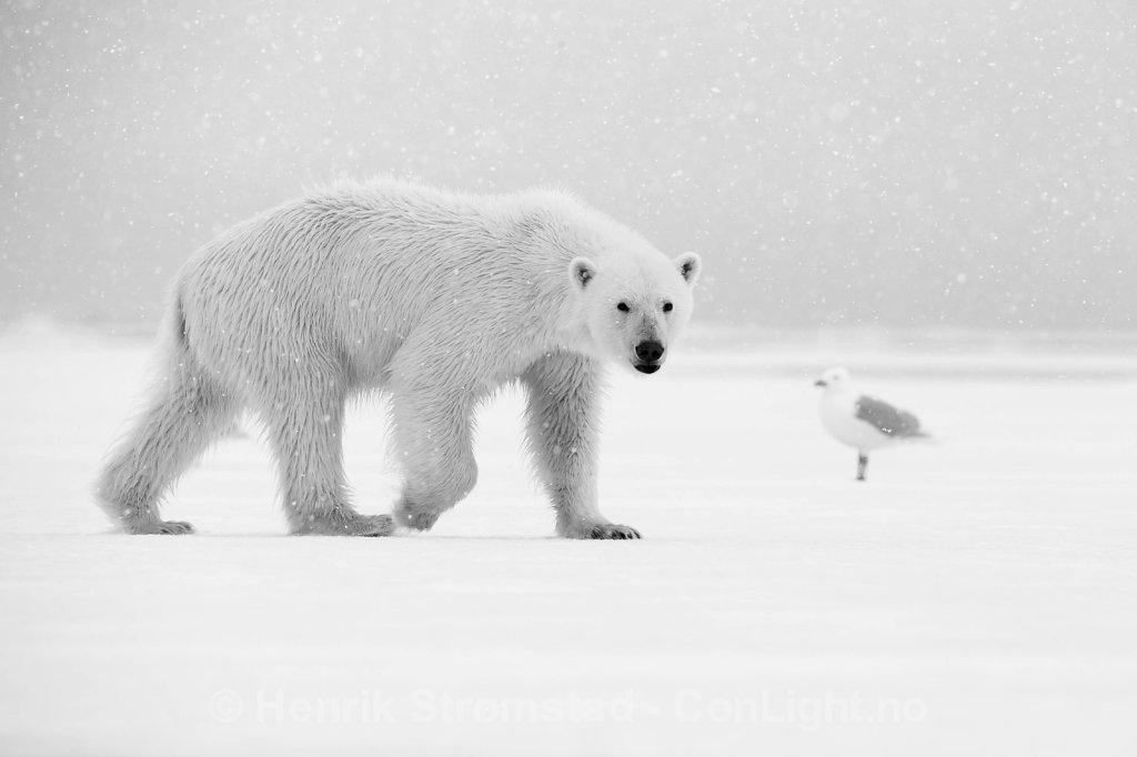 Polar Bear, Raudefjorden, Svalbard 002