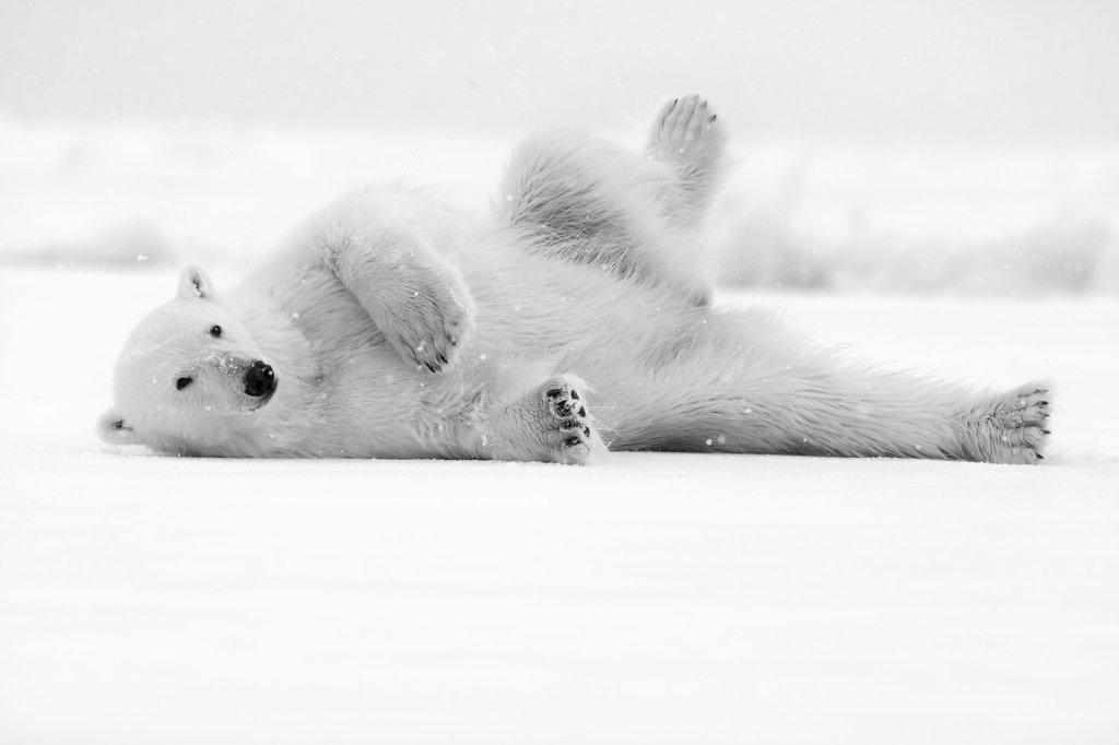 Polar Bear, Raudefjorden, Svalbard 001