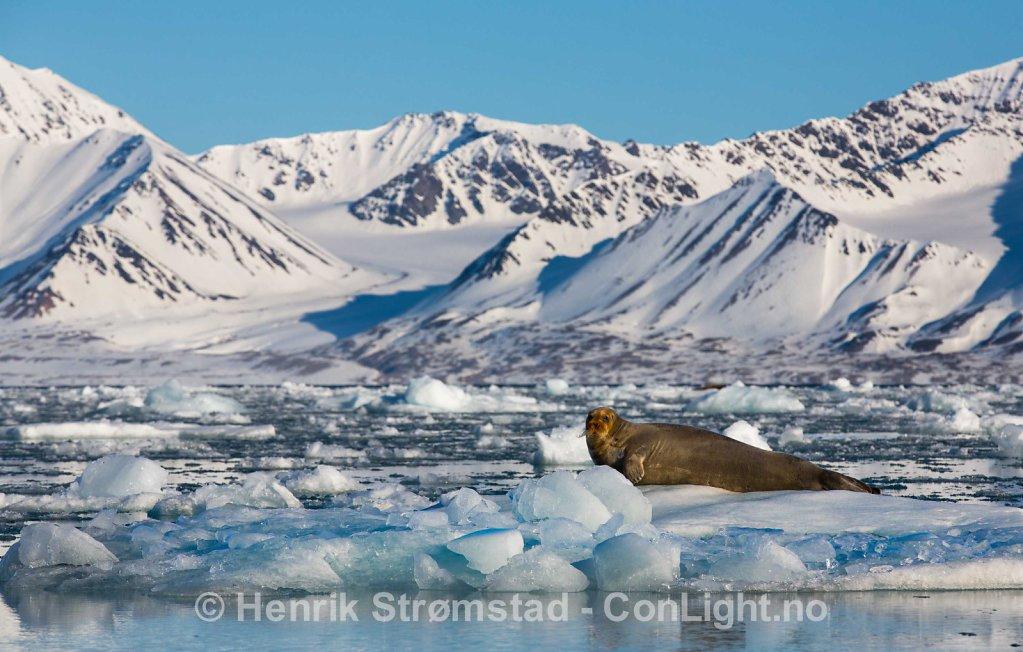 Bearded Seal, Kongsfjorden, Svalbard 003