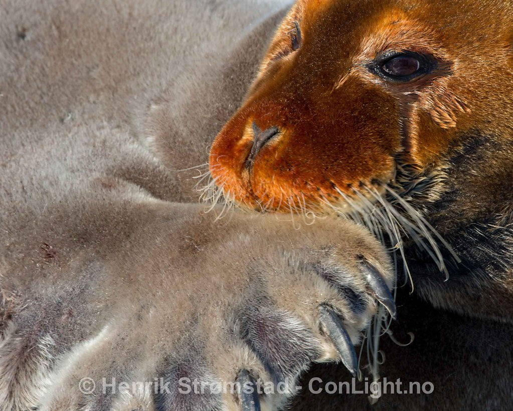 Bearded Seal, Kongsfjorden, Svalbard 006
