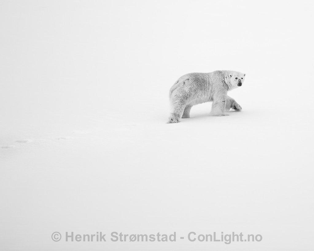 Polar Bear, Smeerenburgrden, Svalbard 002